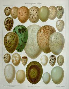 1897 Antique fine lithograph of Bird Eggs.