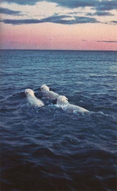 Sweet polar bears. Existence is not............