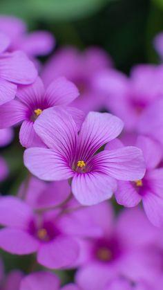 oxalis, flowers