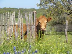 Til the cows come home....Brady, Texas