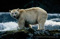 ghostbearphotography.com #ghostbear #spiritbear