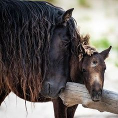 Y'all blazeddddd the hair torchhhhh 'Father and Son' A wild Sable Island stallion and his young son snuggle against a piece of driftwood. There are no trees on Sable Island,… Most Beautiful Animals, Beautiful Horses, Beautiful Creatures, Baby Horses, Wild Horses, Draft Horses, Animals And Pets, Baby Animals, Cute Animals