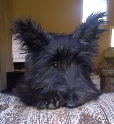 Caitlin as puppy. Scottish Terrier