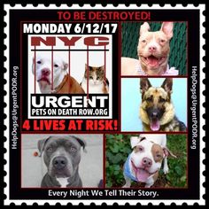 TO BE DESTROYED 06/12/17 - - Info   To rescue a Death Row Dog, Please read this:http://information.urgentpodr.org/adoption-info-and-list-of-rescues/  To view the full album, please click here:http://nycdogs.urgentpodr.org/tbd-dogs-page/ -  Click for info & Current Status: http://nycdogs.urgentpodr.org/to-be-destroyed-4915/