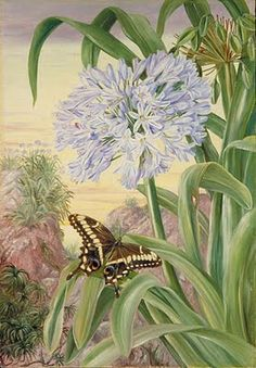 Agapanthus africanus. By Marianne North ( 24 Oct. 1830- 30 Aug. 1890 ), painted in Natal, South Africa