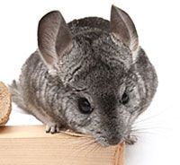 Ways to play with your chinchilla.