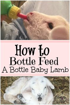 Do you have an orphan lamb on your hands? Not sure what to do next? Here are some tips for how to bottle feed a lamb successfully.