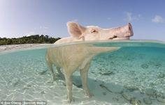 Pig on Pig Beach, Bahamas