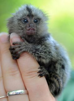 Itsy bitsy baby marmoset! This petite fellow was born in Eberswalde, Germany, and is being hand-raised so that his mom has enough milk for his two older siblings. TOO CUTE!