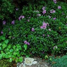 Genus	Daphne Species	x medfordensis Variety	'Lawrence Crocker' Item Form	Trade Gallon (3qt) Zone	6 - 9 Bloom Season	Late Spring - Early Summer Habit	Dwarf Plant Height	9 in - 12 in Plant Width	9 in - 12 in