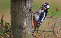 Dangling - Dangling (woodpecker bird)