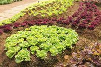 How to Cut Lettuce So It Keeps Growing (with Pictures) | eHow