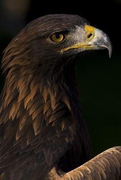 Photo of a European Golden Eagle (Aquila chrysaetos), a bird of prey. Eagle Wallpaper, I Like Birds, Eagle Pictures, Bird People, Eagle Art, Golden Eagle, Animal Posters, Tier Fotos, Birds Of Prey