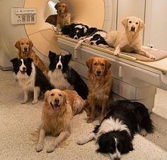 """pesquisadores descobriram que no caso dos cães, 48% das regiões auditivas do cérebro respondem de maneira mais intensa aos sons do ambiente, como o ruído do motor de um carro, do que a vozes. Nos humanos, ao contrário, apenas 3% das regiões do cérebro sensíveis ao som iluminam mais no caso de sons não vocais. """"Isto mostra o que fortemente sintonizado o córtex auditivo humano está com sons vocais. No caso dos cães é mais heterogêneo""""."""