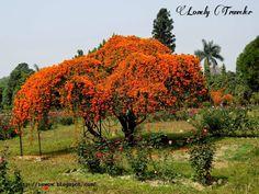 Trepadeiras. Cipó de São João ou flor de São João (Pyrostegia venusta), cobrindo uma árvore do jardim e um pequeno pergolado.