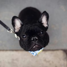 That face ❤ Sir Russell, the French Bulldog Puppy @sir_russell_the_frenchie