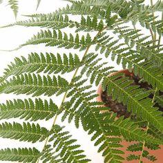 De Dicksonia antarctica is een sierlijke boomvaren, die oorspronkelijk uit Australië komt. Specifiek op het eiland Tasmanië groeit de boomvaren veel. De roodbruine/donkerbruine 'stam' van de plant is eigenlijk niet echt: dit is een schijnstam die is opgebouwd uit dood blad. Deze kan met 3 tot 5 cm per jaar groeien. #dicksoniaantartica #boomvaren #kamerplant #planten #plants #botanical #botanischwonen #groeninhuis