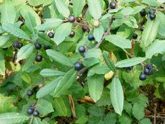 rhamnus californica, false coffeberry