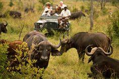 Bueffel Pirschfahrt - Masai Mara - Kenia