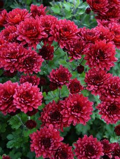 You can't beat the look of Chrysanthemum plants. Easy and bright, Chrysanthemum perennials from Bluestone are unsurpassed. Fall Flowers, Red Flowers, Beautiful Flowers, Exotic Flowers, Yellow Roses, Pink Roses, Design 3d, Flower Pot Design, Overwintering