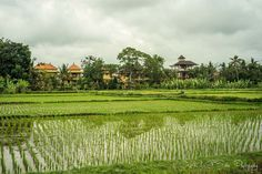 2 Weeks in Indonesia: Rice paddy fields in Bali, Indonesia
