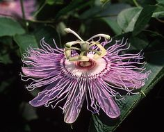 #Homeopathic remedy passiflora is obtained from the herb called passiflora incarnata, which is also known as purple passion flower, maypop, true passion flower, wild passion vine and wild apricot.