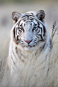 tulipnight:   Tiger in White by Bridgena Barnard : expressions-of-nature