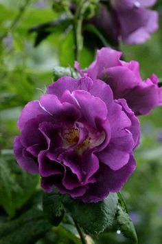 oh i LOVE this..ty for pinning..I have never seen this one before ~Kathy~  Rose 'Rhapsody in Blue'