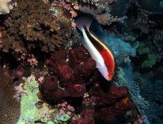 Hawkfish on a sponge at Little Brother, Red Sea, Egypt #SCUBA by Derek Keats, via Flickr