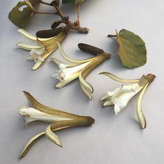 N I G H T  B L O O M I N G . Pterospermum acerifolium flowers  #Pterospermumacerifolium #pterospermum #sterculiaceae #bayurtree #nightscented #scent #perfume #zimbabwe #harare #whiteflowers