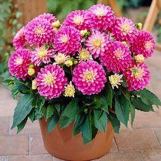 Gallery Dahlia Rembrandt, Dahlia - Spring Bulbs from American Meadows Dahlia Flower, Flower Pots, Peony Root, American Meadows, Growing Dahlias, Plant Covers, Garden Soil, Garden Art, Garden Ideas