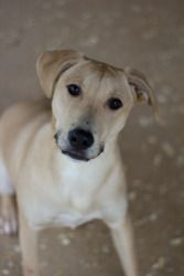 Coral is an adoptable Labrador Retriever Dog in Tanner, AL. Coral was one of the litter that we got after the April tornados of last year and is looking for a home! She is very loving and sweet. Adopt...