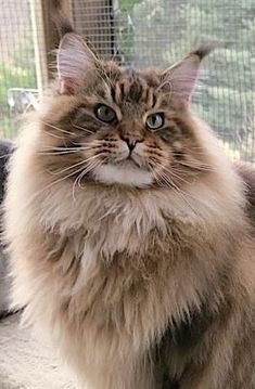 ♥ Maine Coon