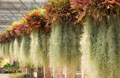 Stock image of 'Spanish moss in hanging pot.'