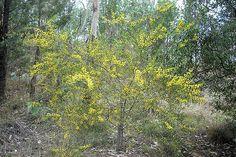 Small/Medium Shrub Understorey - Bird Attracting - Acacia Montana (Mallee wattle)