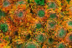Orange Ranunculus Pon-Pon Merlino at New Covent Garden Flower Market January 2017 New Covent Garden Market, Flower Market, Ranunculus, Love Flowers, Marketing, January, Orange, Fruit, Create