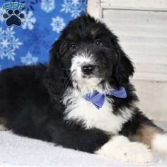 Bernedoodle Puppies For Sale Bernedoodle Puppy Puppies For Sale Greenfield Puppies