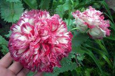 Opium Poppy 'Flemish Antique' (Papaver somniferum) in poppysue's garden