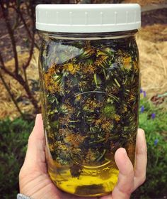 Making dandelion infused oil