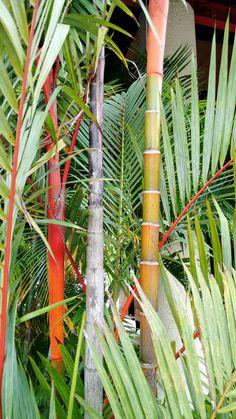 Planta bambú Tailandia