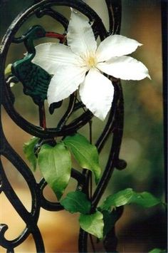 White clematis blooming by the Garden Gate .  Location:  Gardens by Pat At Serenity Cove.