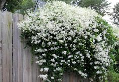 Gardening Tips for the Santa Cruz Mountains » compact shrubs