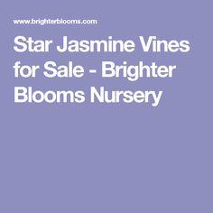 Star Jasmine Vines for Sale - Brighter Blooms Nursery