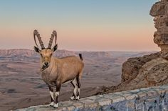 Nubian Ibex - Israel (1024×682)