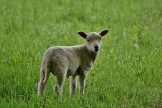 Lamb Small White Sheep Grass Field Wallpaper