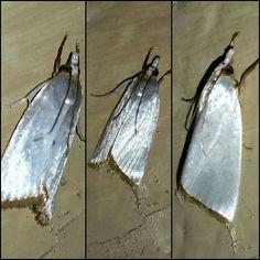 Snowy Urola Moth