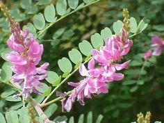 Blütenstände und Laubblätter einer Indigopflanze (Indigofera tinctoria)