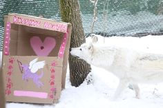 Our female gray wolf is checking out some Valentine's Day enrichment our zookeepers made for her!