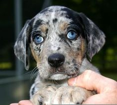 Catahoula Leopard Dog - saw one in the pet store tonight and fell in love.