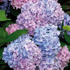 Van Zyverden Hydrangea Nikko Blue Root Stock (1-Set)